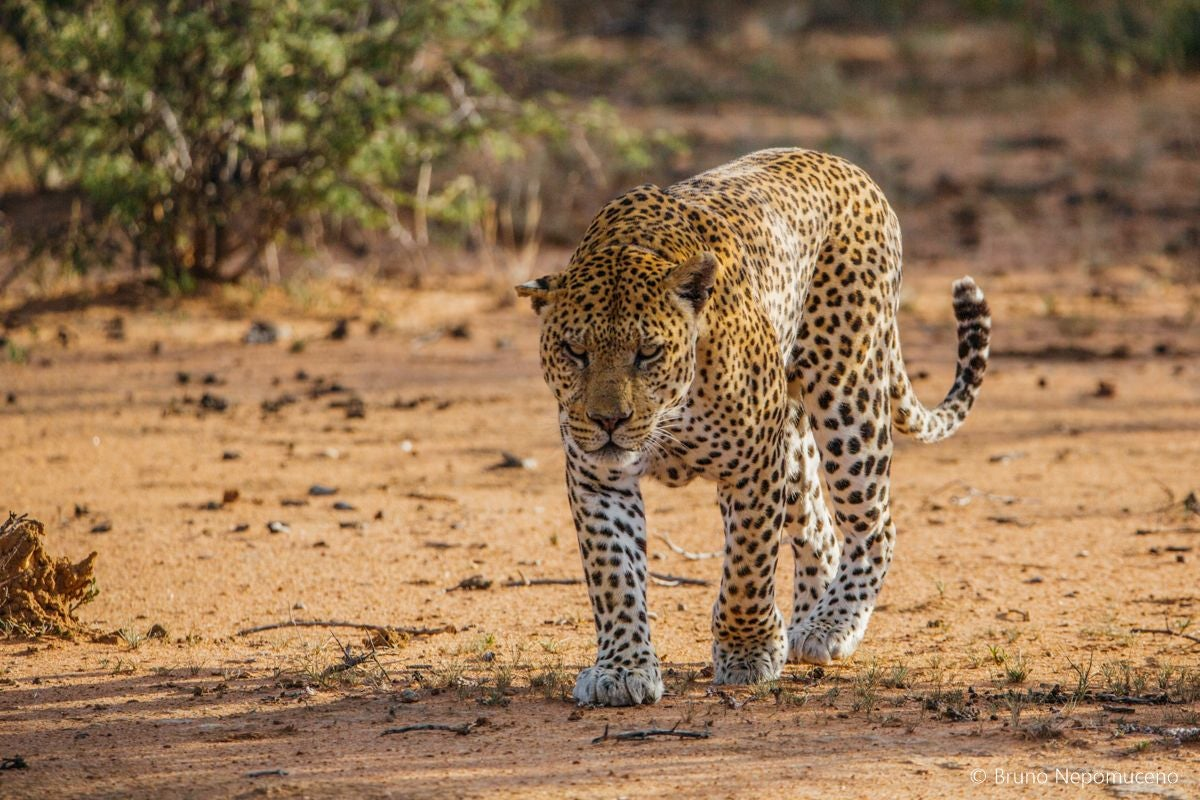 adventure in Tracking leopards