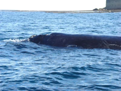 Whale Watching in Puerto Piramides