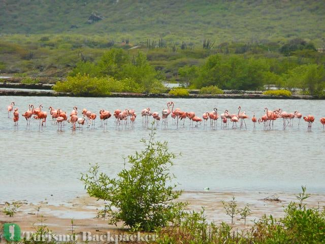 Flamingos no Salt Pond