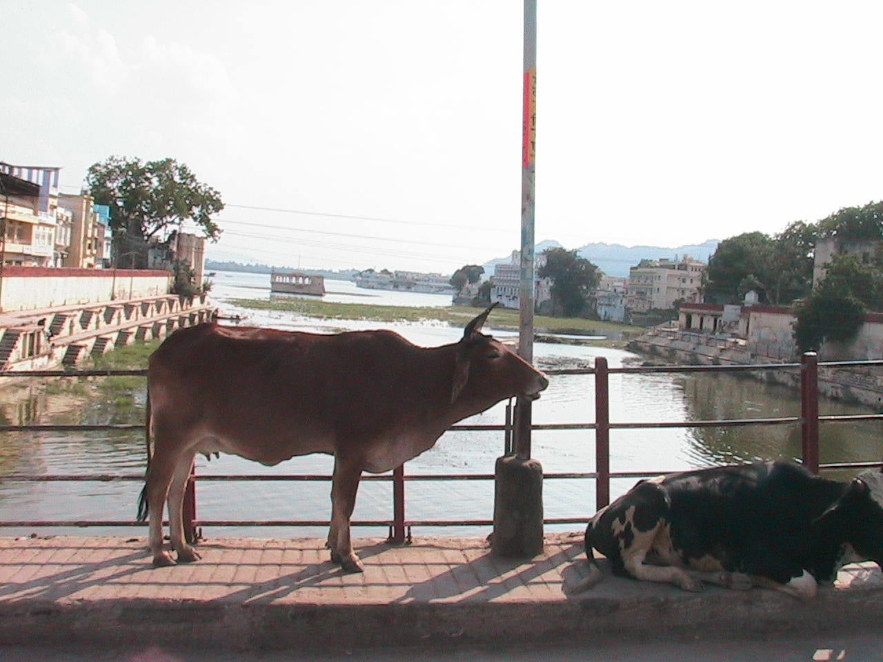 Animal en Udaipur