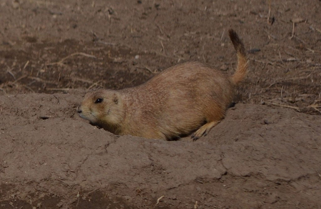 Robert S Prairie Dog Town In Wall 1 Reviews And 3 Photos