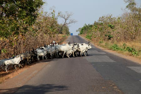 Cows on the road 1