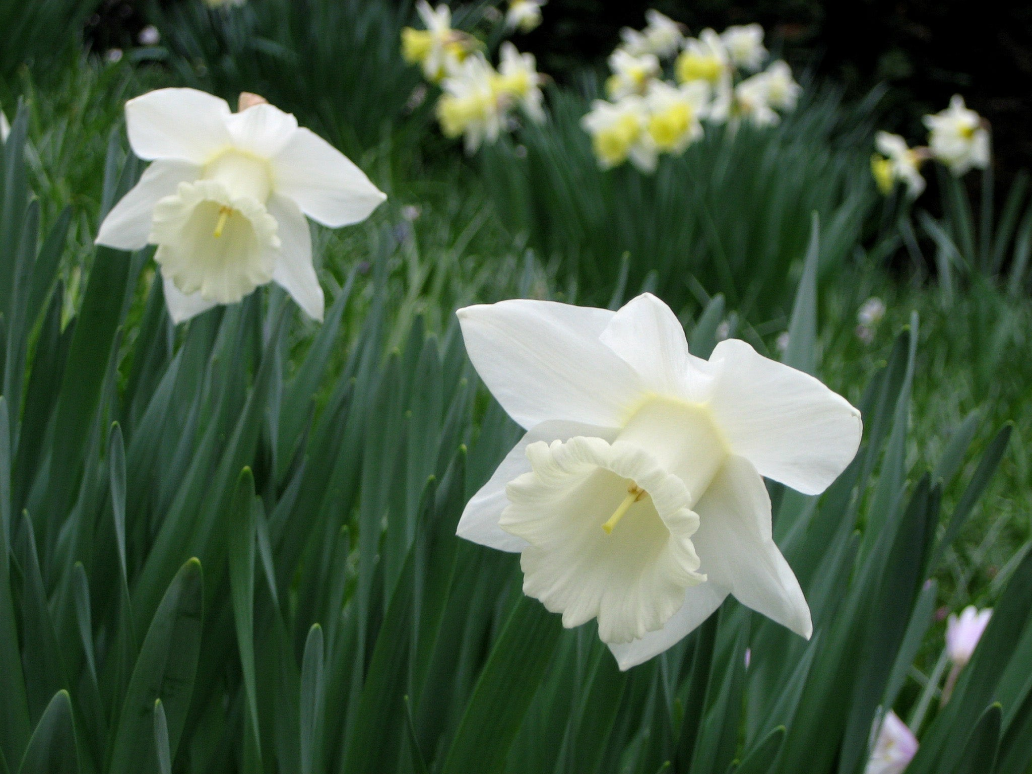Narciso en Queen Mary's Gardens