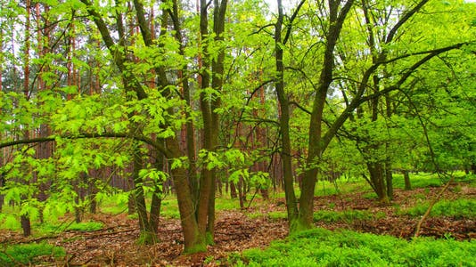 Ancient Beech Forests of Germany