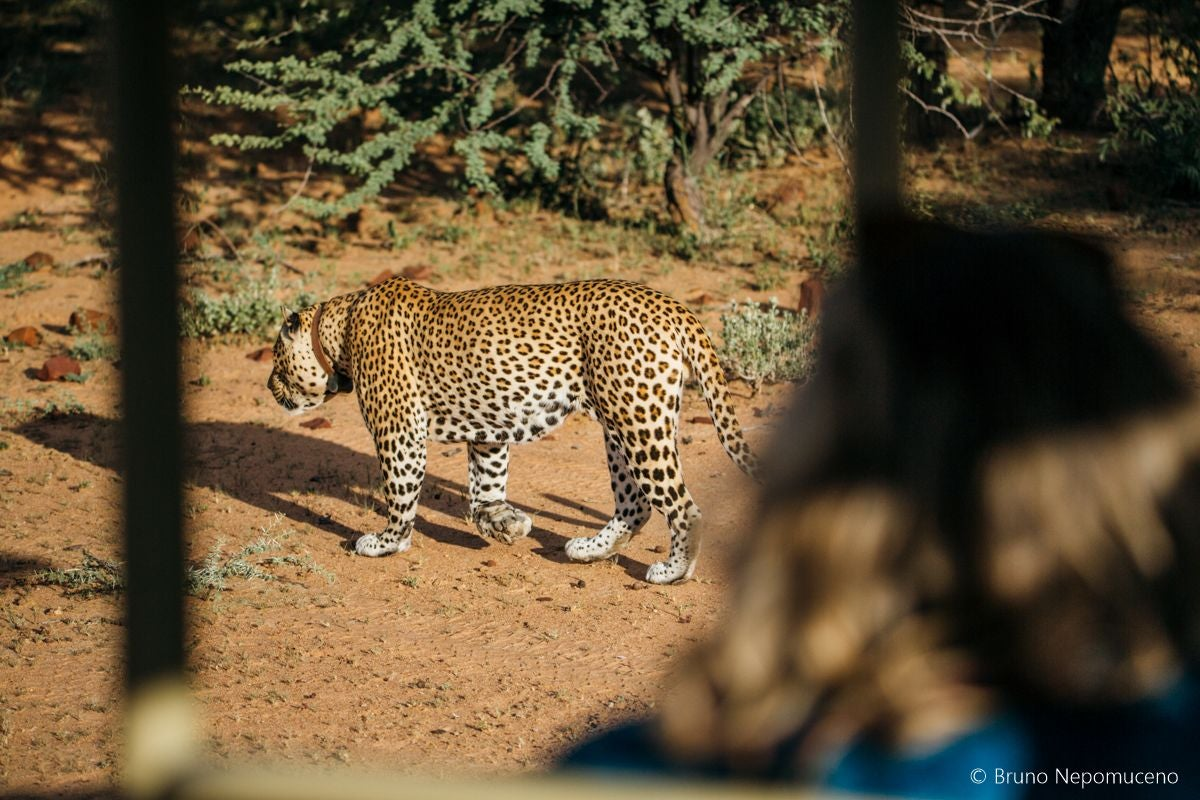 Wildlife in Tracking leopards