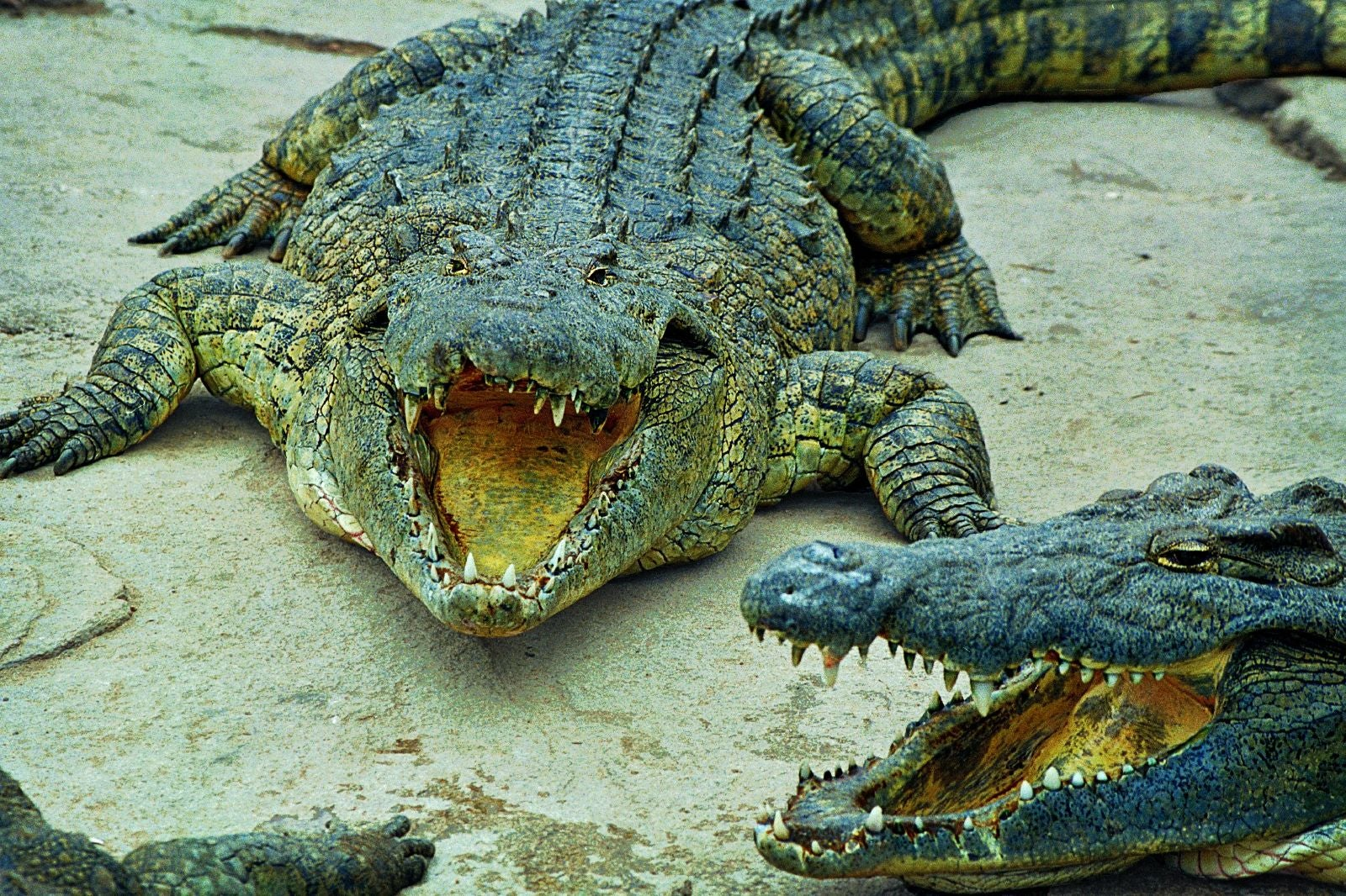 Sacred crocodiles at Presidential Palace
