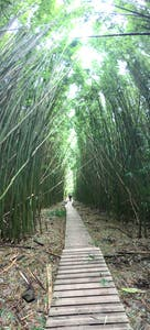 Maui's Bamboo Forest