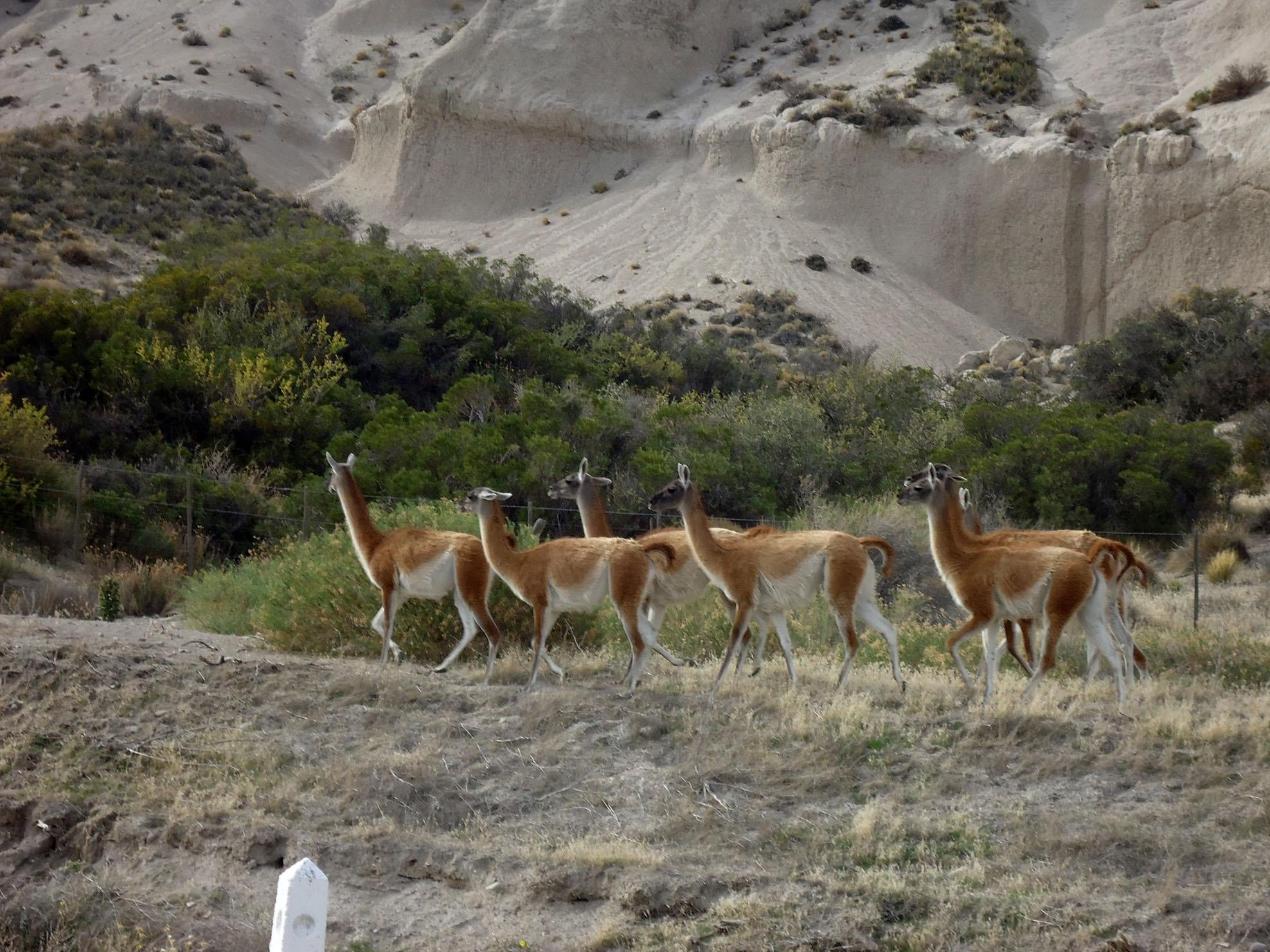 Guanacos on the Trail