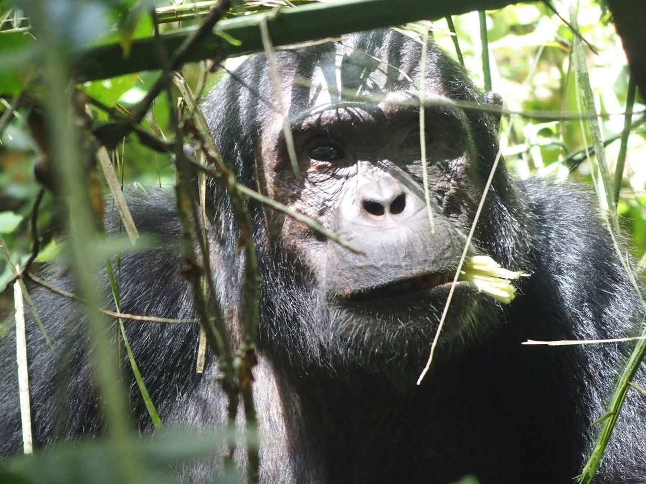 Chimpancé en Kibale Forest National Park
