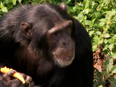 Ngamba Island, Sanctuary of Chimpanzees
