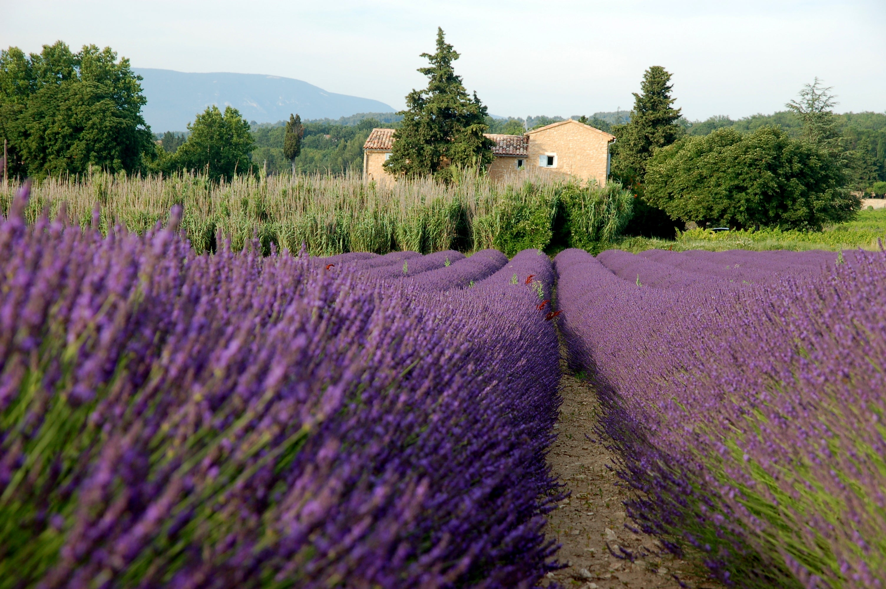 Plant in Fields of Lavender in the Luberon