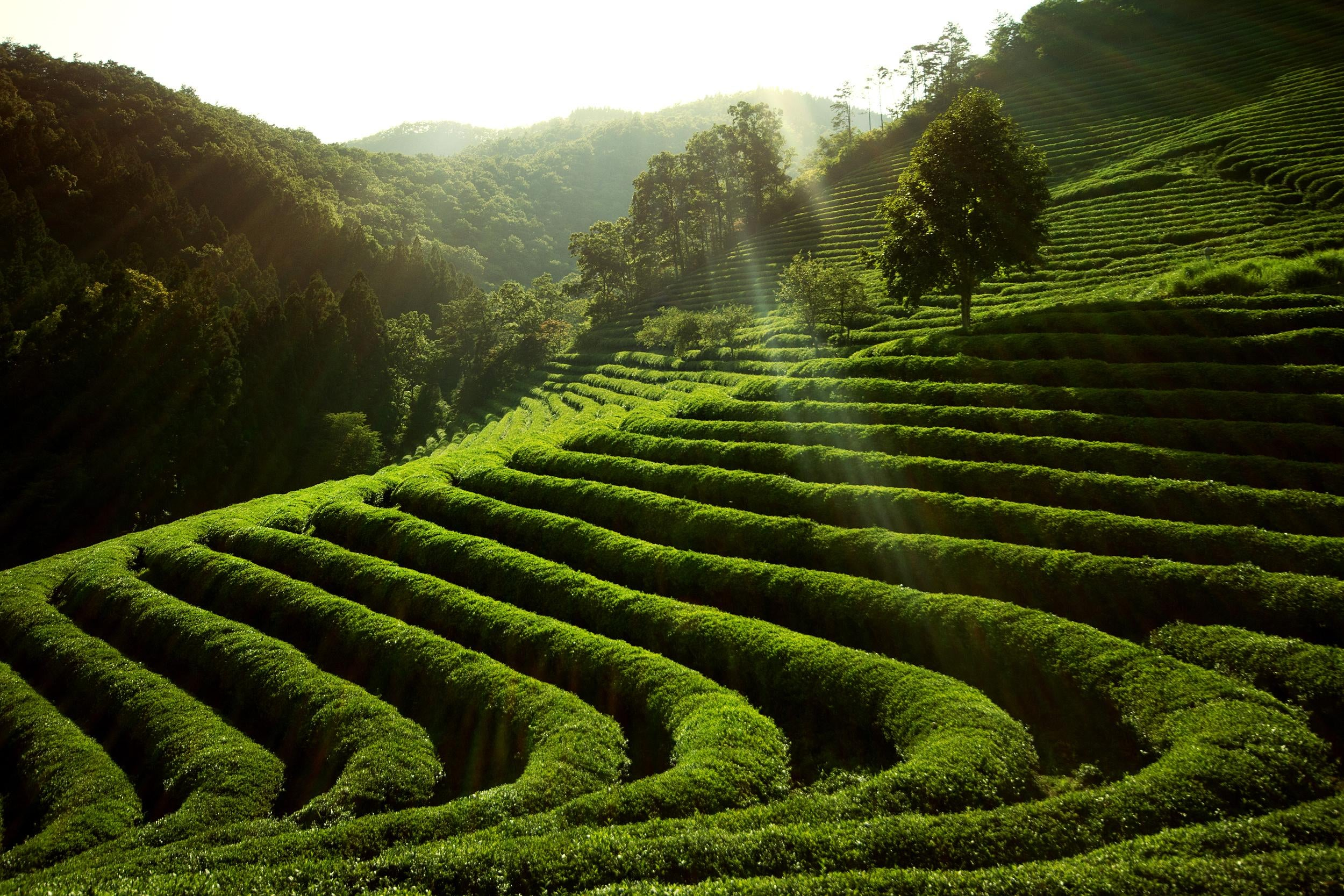 Tea plantation korea
