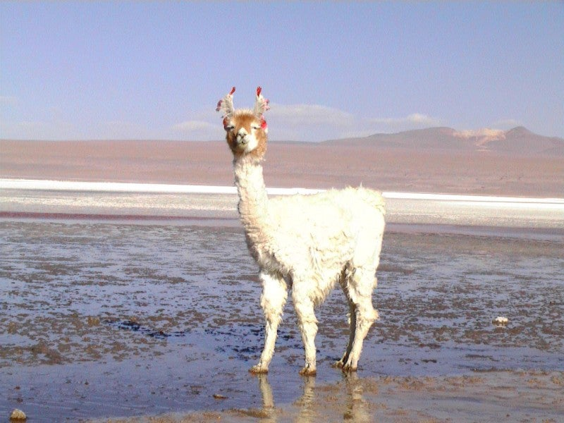 Animal en Laguna Colorada