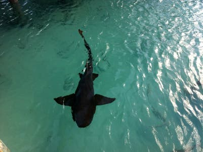 Sampson Bay Nurse Shark