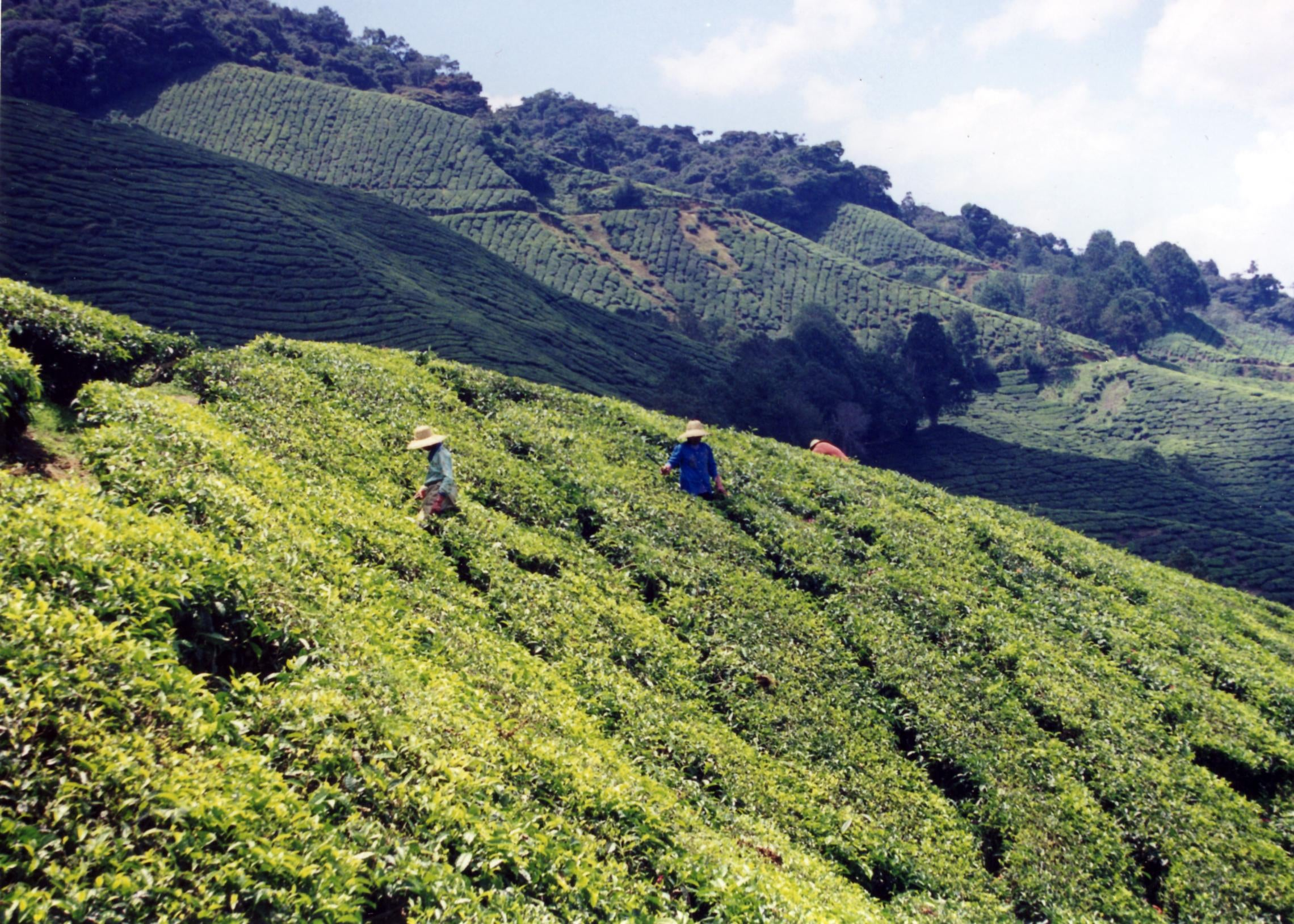 Sungai Palas Cameron highlands