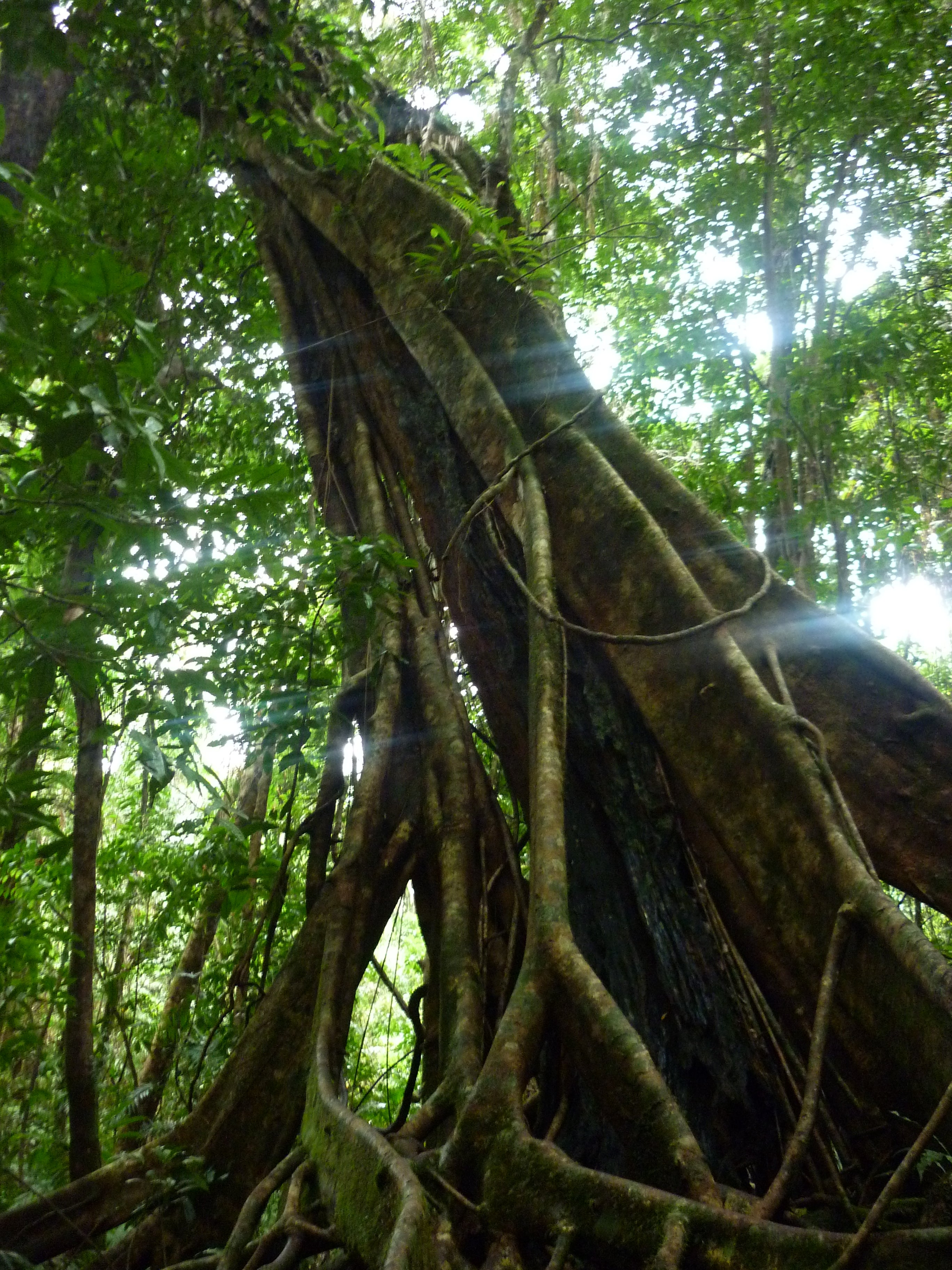 Árbol en Cape Tribulation